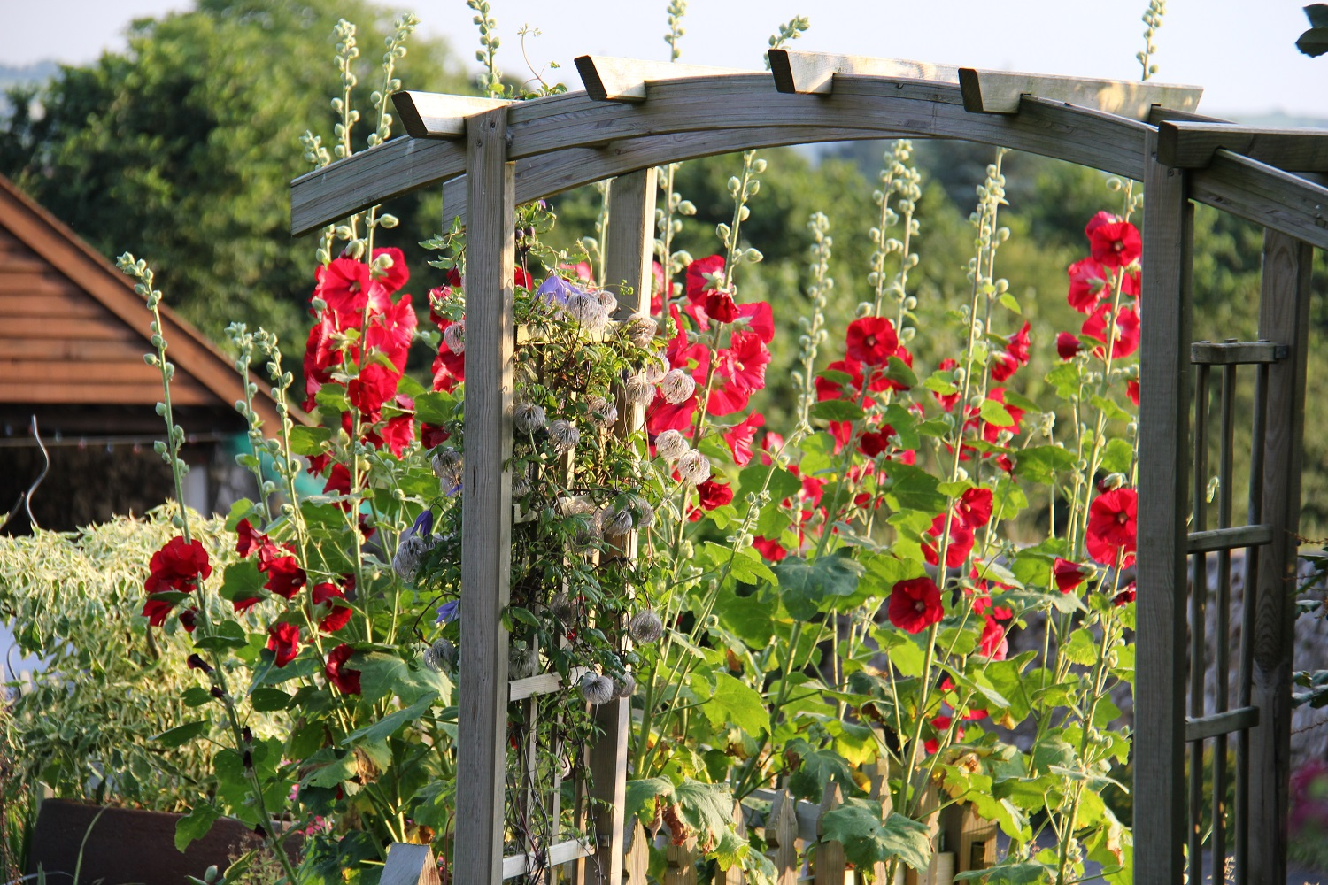 Hollyhocks at Spring Cottages